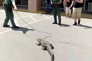 Police called to drag 1.5m CROCODILE through furniture shop in front of baffled onlookers (photos, video)