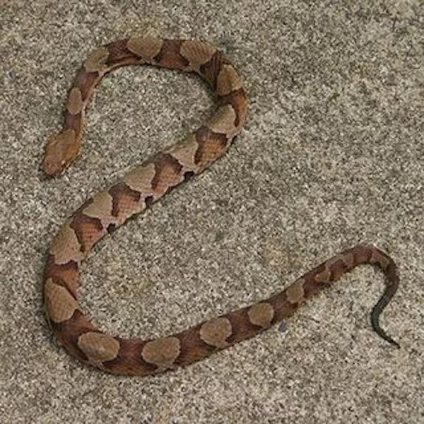 A copperhead snake. Photo: copperhead-snake.com