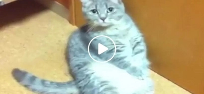 This chubby cat begs his master for food! You won't believe what he did