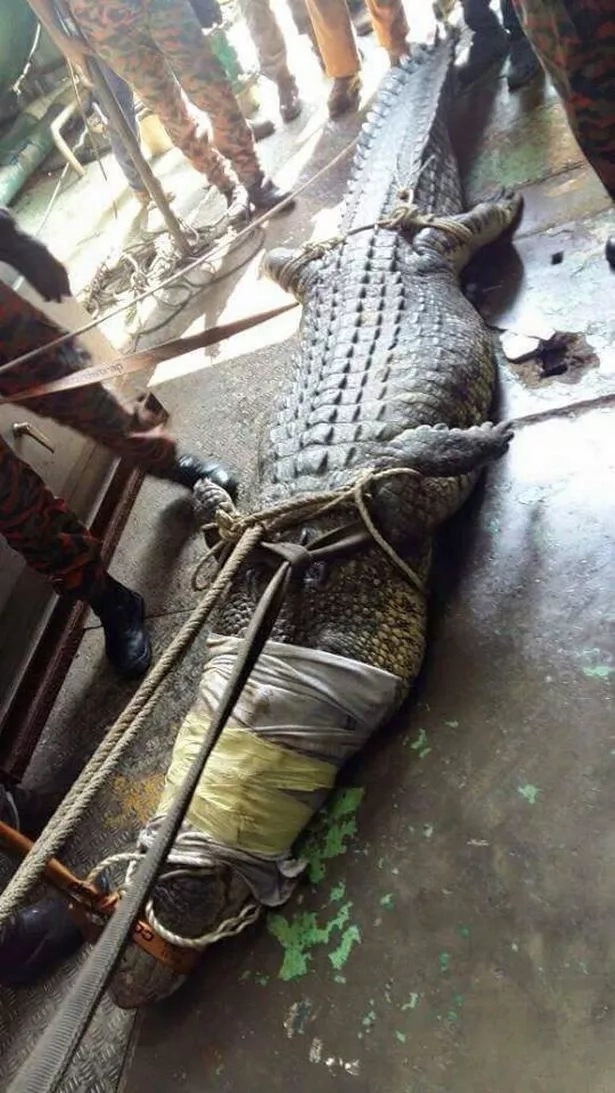 Sadly, the crocodile appeared to have injured itself while thrashing about and passed away just hours after its rescue