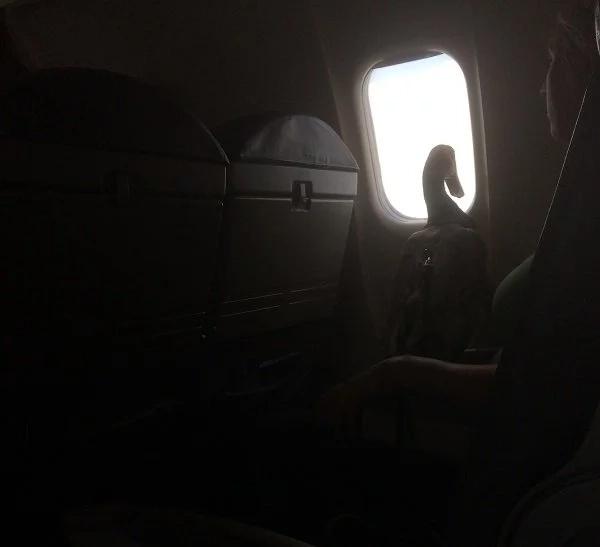 Daniel el pato ayudó a brindar comodidad a su dueña con TEPT en aviones