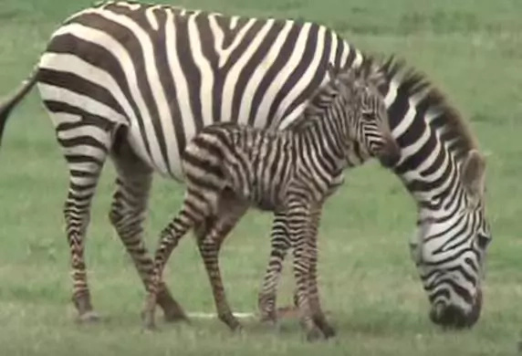 Amazing video of zebra giving birth