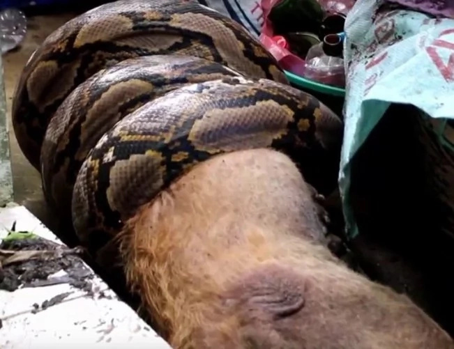 python invasion