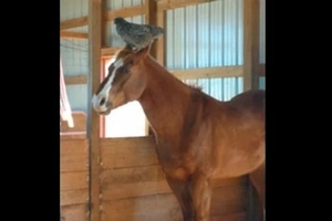 Mom Checks On Her Horse In The Barn, Hilariously Finds A Chicken Resting On Its Head