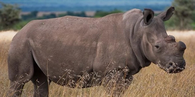 Looking for love! Kenya's last male northern white rhino Sudan joins dating application