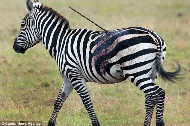 Brave Kenyan zebra withstands Maasai SPEAR lodged on its body for days (photos)