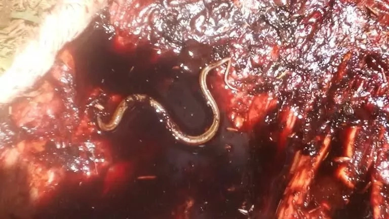 BIZZARRE story of how a snake took down a cow from the inside in Elgeyo Marakwet