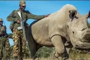 Last male Northern White Rhino, Sudan, is dead