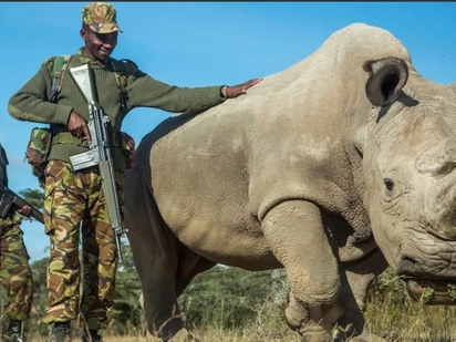 Last male northern white rhino, Sudan is dead