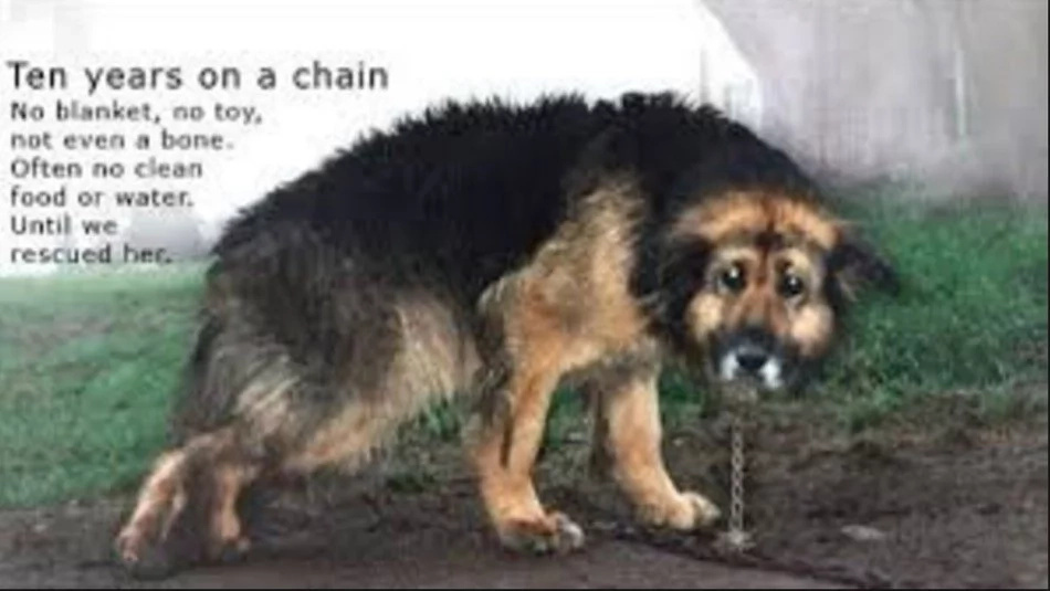This dog was chained for 10 years, what happened next will move you [VIDEO]