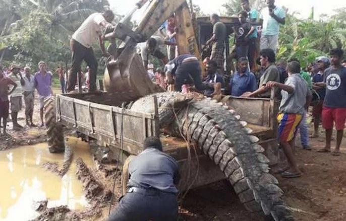 Gargantian 1-Ton Crocodile Got Stuck In Sri Lanka Canals