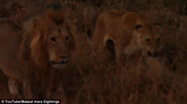 The standoff persisted into late evening. Photo: YouTube/Maasai Mara Sightings