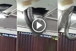 Giant Snake DROPS From Ceiling Tiles In Packed Restaurant — And Slithers Down IN FRONT Of Diners