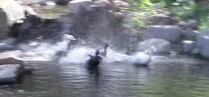 Rescue ducks have never seen water. Now watch them take their very first swim