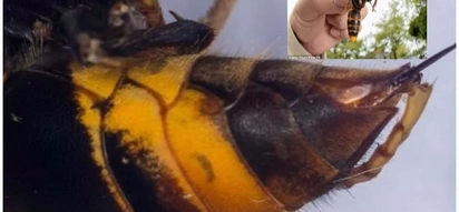 Swarm of giant hornets descend of wheelchair-bound woman, 87, kills her in 50-minute attack