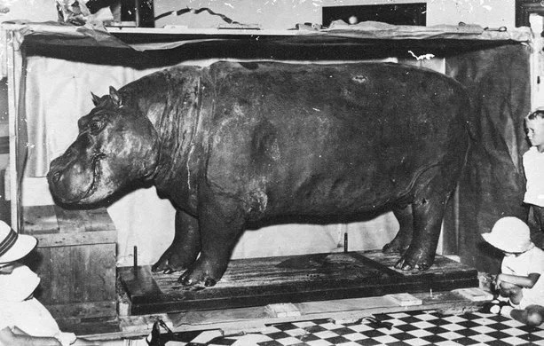 This legendary hippo won millions of fans but its story will break your heart