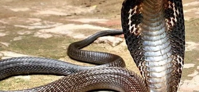 Murang'a man turns into 'snake' after killing Cobra (Video)