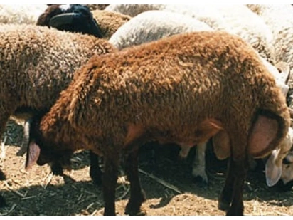 Man stole and feasted on his employer's Ksh 6000 sheep while celebrating Jamhuri Day