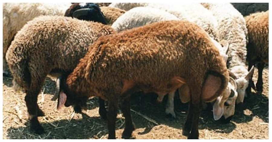 Nyeri man stole and feasted on his employer's sheep in celebration of Jamhuri day