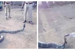 See moment brave villagers offer water to thirsty king COBRA (photos, video)