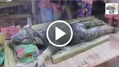 Extraño híbrido búfalo – cocodrilo nació en Tailandia