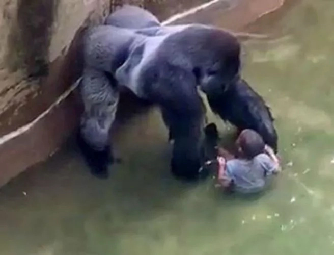 Watch the bloodcurdling footage of 3-year-old child assaulted by the giant Gorilla