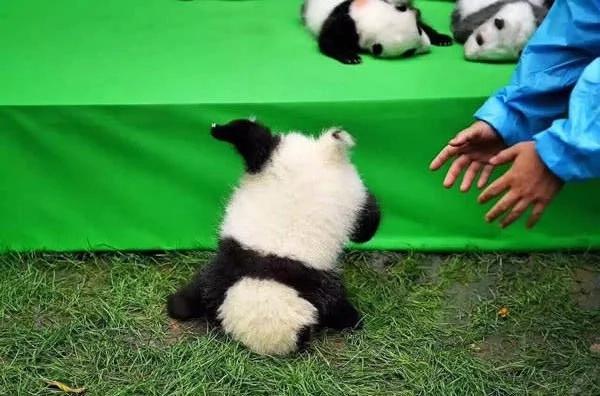 Bebé panda se va de cabeza en su debut frente a las cámaras