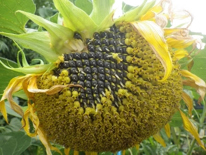 Sunflower Farming in Kenya: Making Money on the Farm