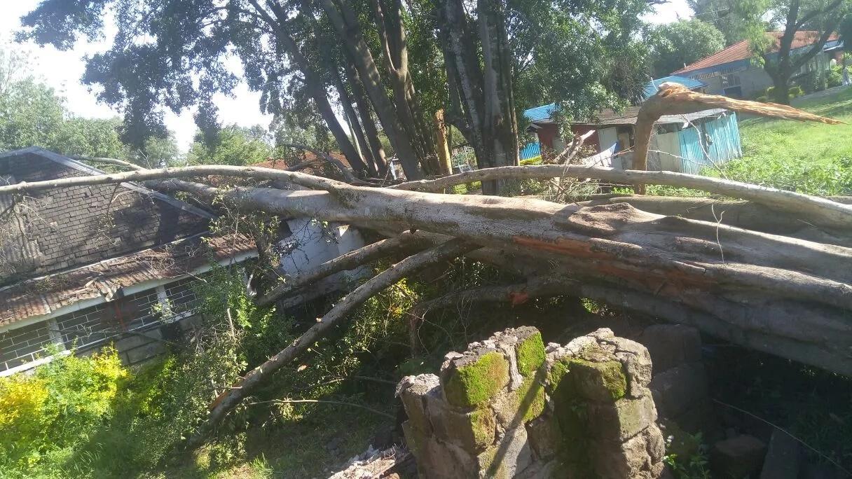 Elders perform ritual after 300-years-old tree falls in Nakuru