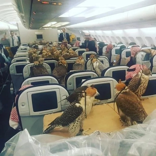 Amazing! Saudi prince buys 80 FIRST CLASS tickets for his hawks (photos)