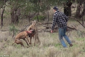 Man Vs Roo Vs Dog - But Who Wins? (Video)