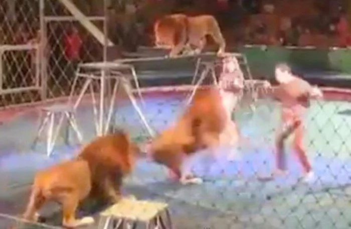 Circus trainer is ATTACKED by a lion right in front of shocked audience (photos, video)
