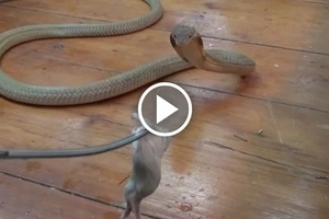 Watch this horrifying video of a King Cobra's snack time!