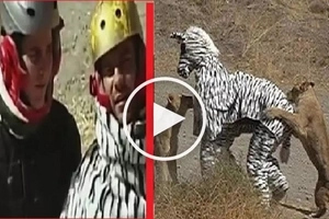 VIDEO: Hungry LIONS brutally ATTACK two men wearing a zebra costume in the jungle!
