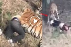 Tigers maul Chinese man to death after he scales wall to skip paying zoo ticket