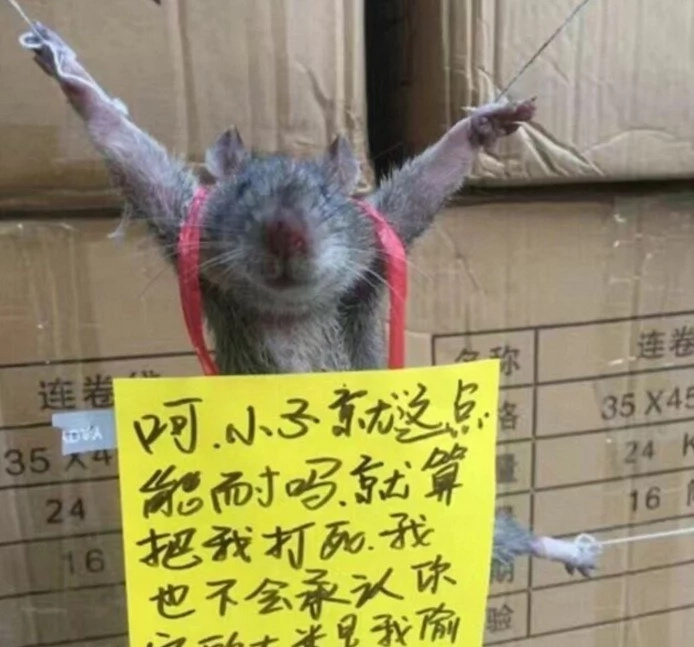 Ridiculous! Rat ARRESTED, publicly shamed for stealing rice (photos)