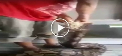 Nakakatakot na sawa! Brave Pinoy hand-feeding deadly giant snake with chickens goes viral