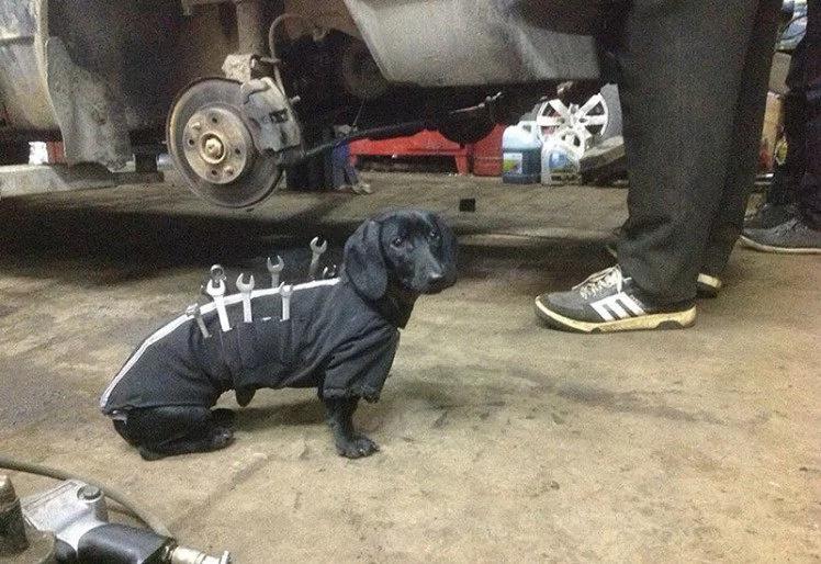 Perro salchicha acepta trabajo a medio tiempo como mecánico