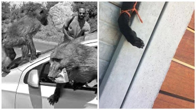 Fury as 2 baboon hands and foot are found dangling on perimeter wall