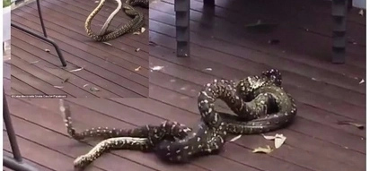 She is mine! 2 giant diamond pythons settle scores in brutal battle for mating rights