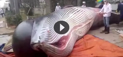 The reason why this whale was butchered will devastate you
