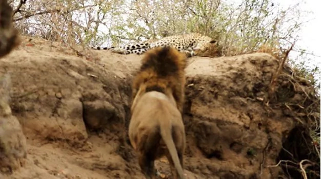 Lion Stalks & Attacks Leopard on Video Is Animals' World as It Is