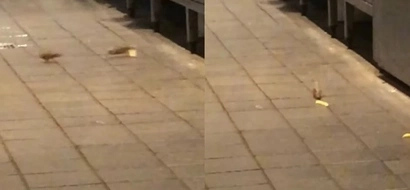 Customer Captures Footage Of Mice Chasing Each Other In A McDonalds
