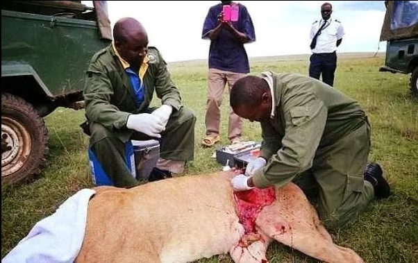 Kenyan lioness given second lease on life after open air surgery