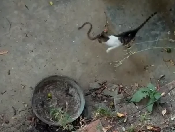 Cat starts battling a snake and it seems they are equal from start. But what if the 2nd cat comes?