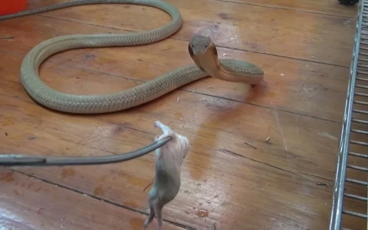 This guy dances around his pet King Cobra as it lashes at him!