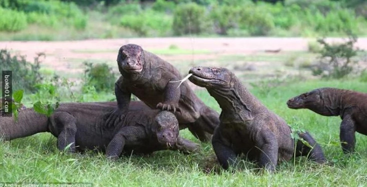 Komodo dragons hunt their greedy congener for stealing a prey