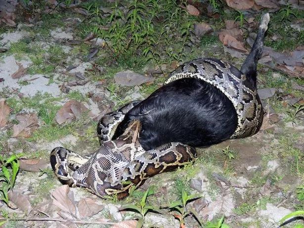 Gluttonous python attacks big goat, chokes on it (photos)