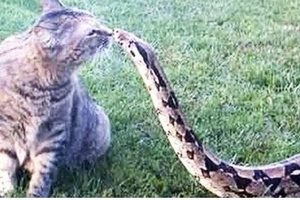 Brave Cat Came Face To Face With A Deadly Snake, WATCH What He Gets In Return