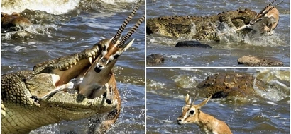 Gruesome! Huge crocodile devours gazelle with just ONE bite in savage river ambush in Kenya (photos)